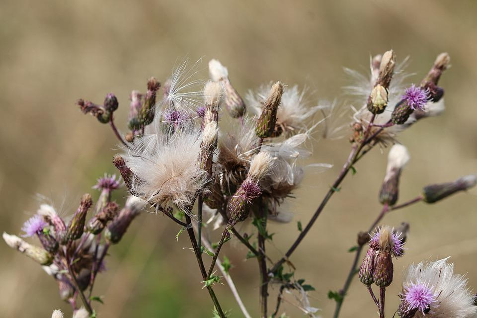 Cirsium Vulgare, Thistle, Autumn, Faded, Wool, Woolly