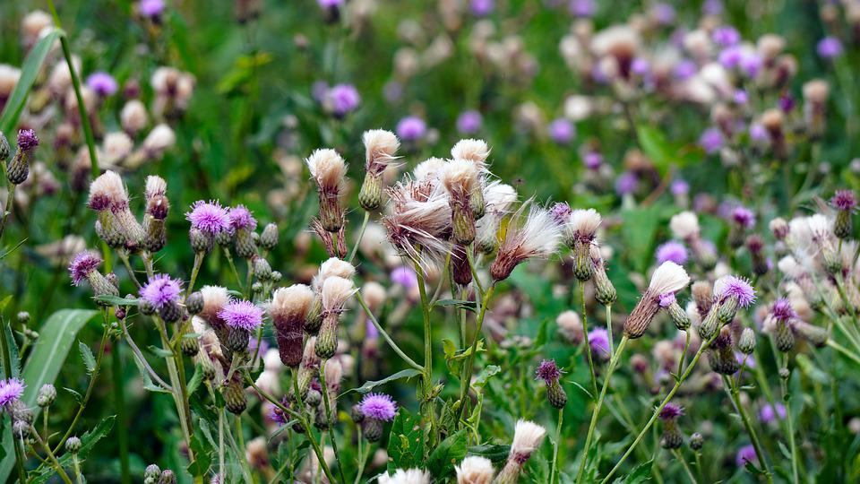 Thistles, Wild Flower, Blossom, Bloom, Nature, Flora