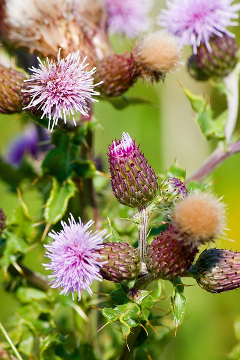 Thistle, Thistles, Flower, Flowers, Thistle Flowers