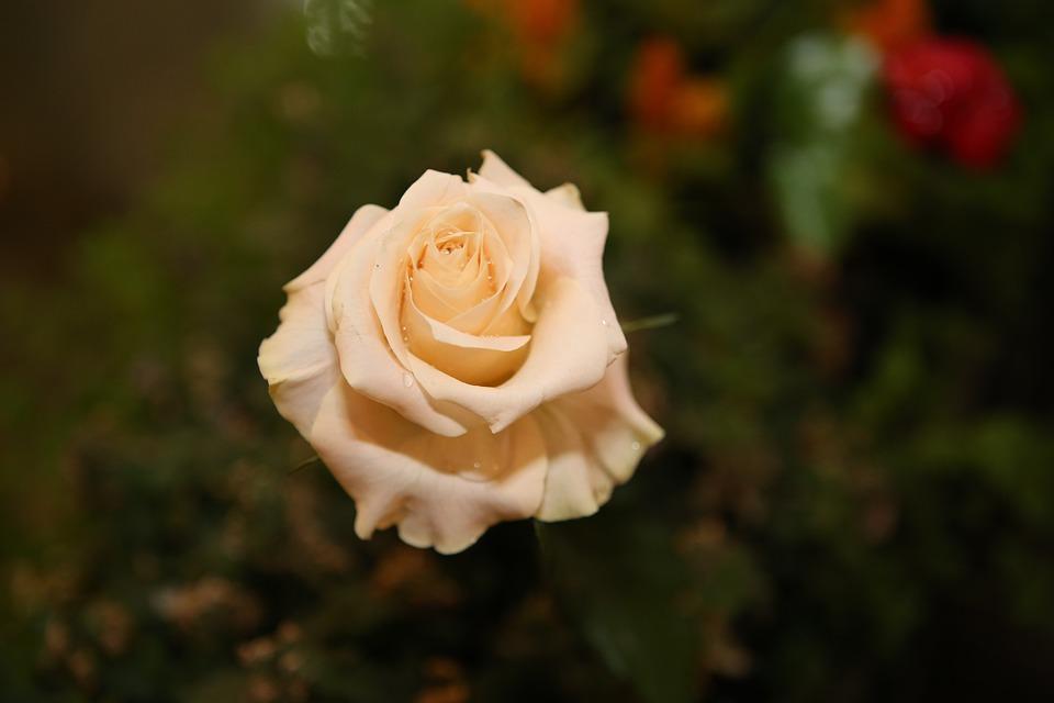 Rose, Indoor, Photo, Free, Love, Thorn, Okay