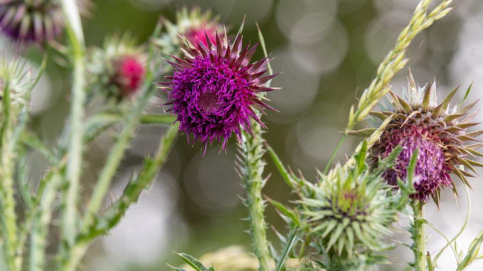 Thistle, Violet, Flower, Pink, Purple, Thorn, Plant