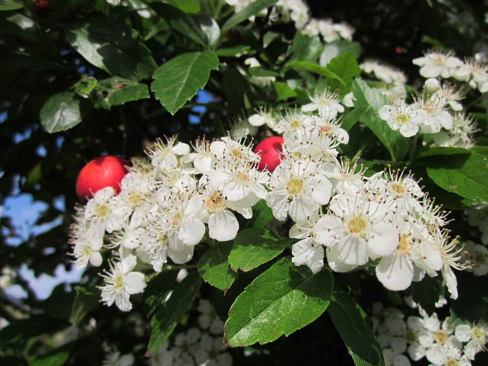 Crataegus, Hawthorn, Thornapple, May-tree, Whitethorn