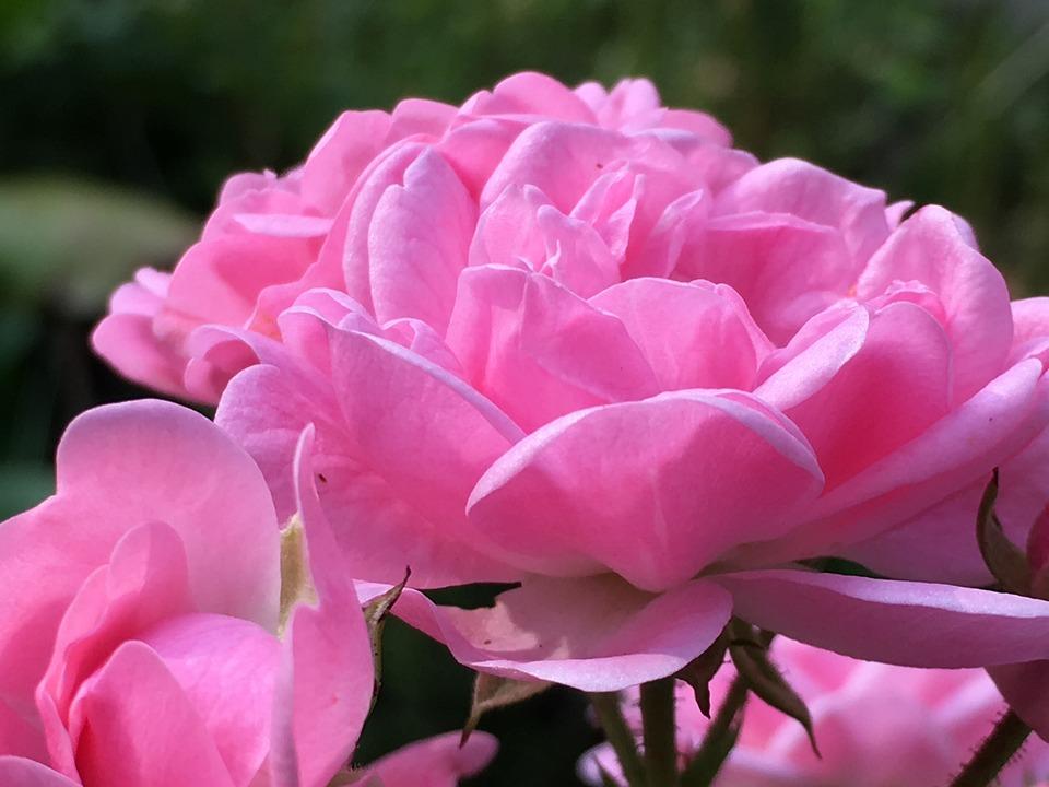 Free photo thorns flowers rose bloom rose rose blooms max pixel rose thorns rose bloom flowers rose blooms mightylinksfo