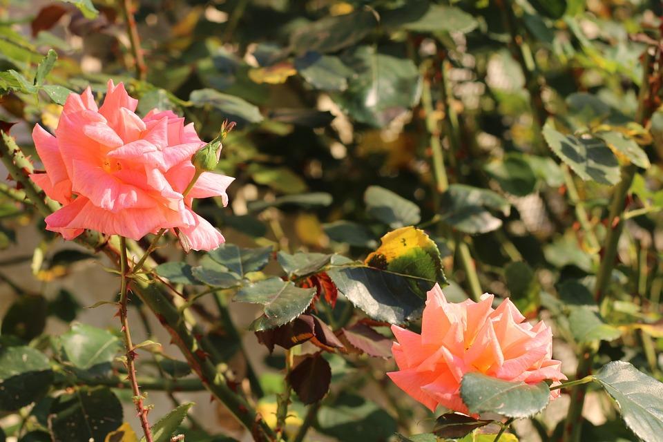 Thorns, Pink, Nature, Flower, Flowers, Summer, Plants