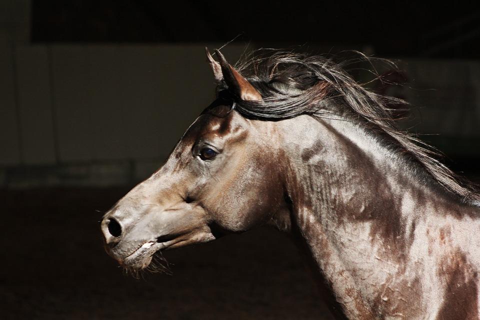 Arabs, Horse, Thoroughbred Arabian, Stallion