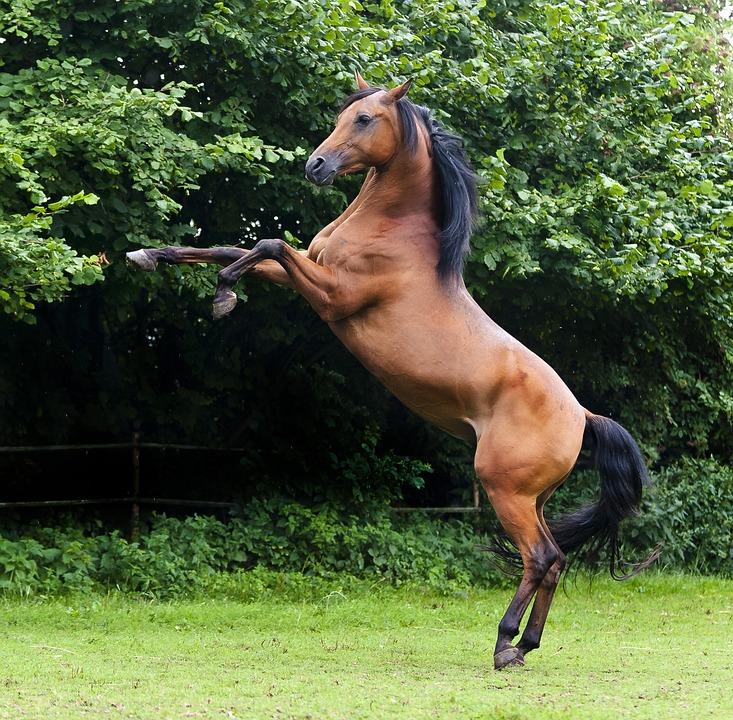 Free photo thoroughbred arabian arabs stallion horse max pixel - Arabian horse pics ...