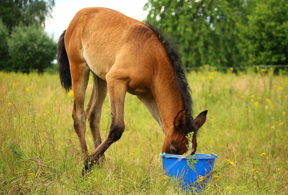 Horse, Foal, Thoroughbred Arabian, Brown Mold