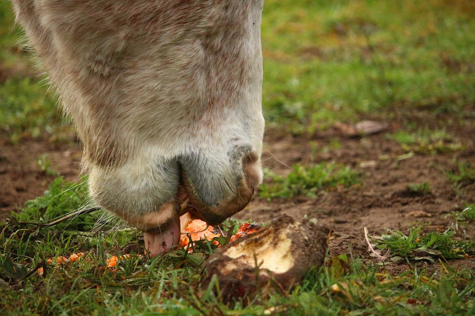 Horse, Mold, Thoroughbred Arabian, Carrot, Carrots, Eat
