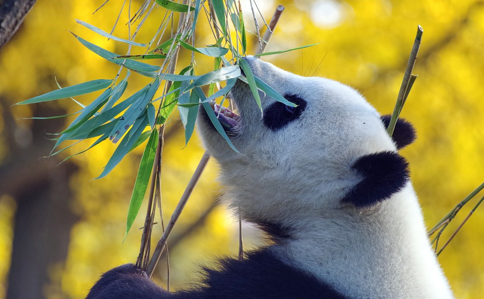 Panda, Bear, Mammal, China, Threatened, Zoo, Bamboo