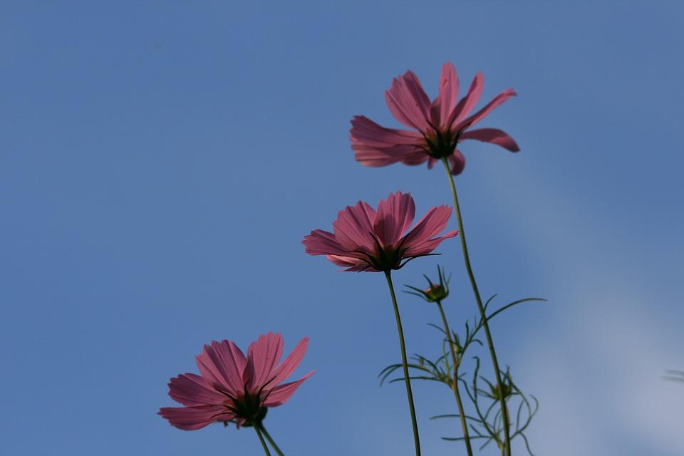 Three Cosmos, Flowers, Cosmos, Three, Pink, Sky, Blue