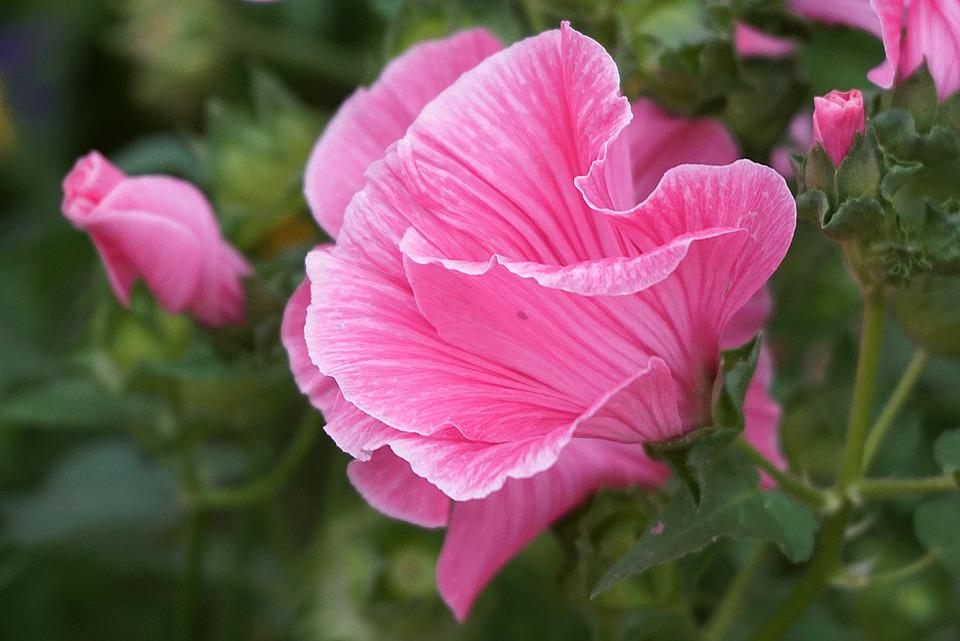 Flower Pink, Three-lobed Slime, Pink Malope