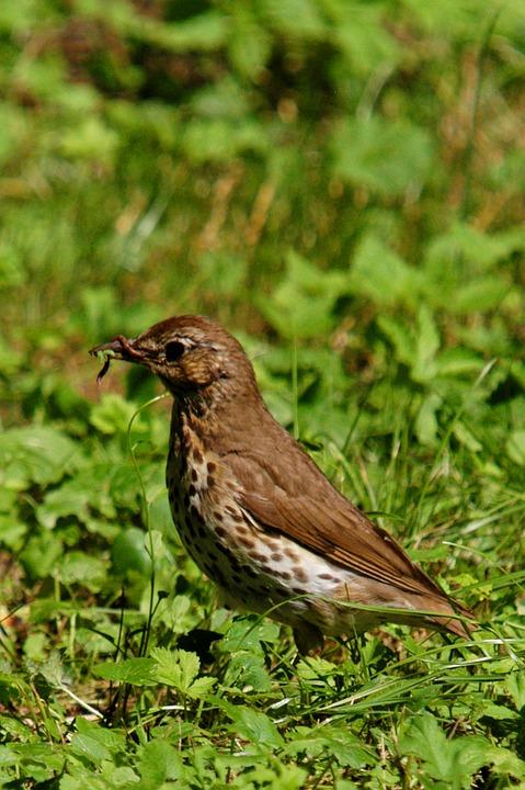 Thrush, Bird, Animal, Nature