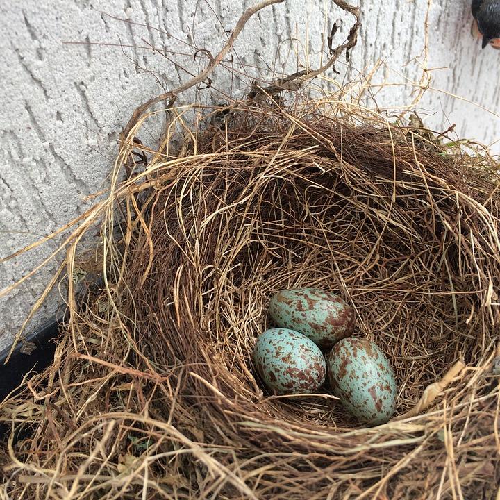 Nest, Eggs, Birth Birds, Thrush, Puppies