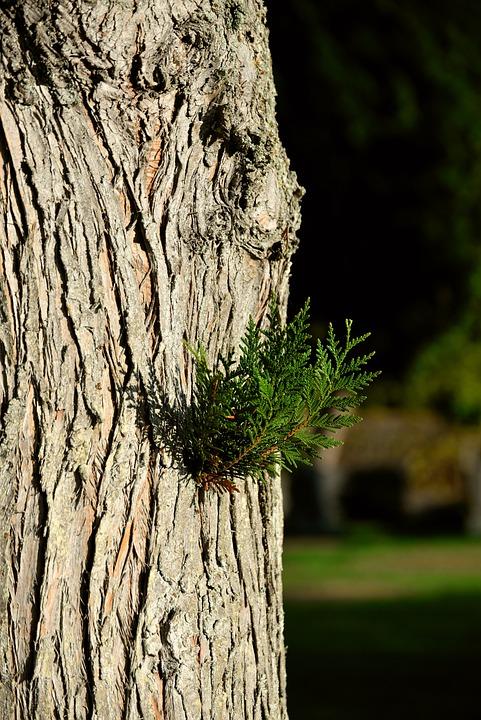 Tree Of Life, Tree, Hiba Tree Of Life, Thuja