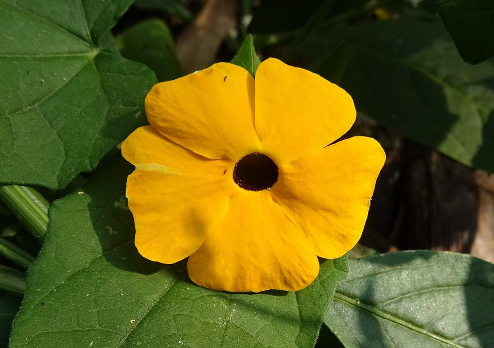 Flower, Orange, Thunbergia Alata, Black-eyed Susan