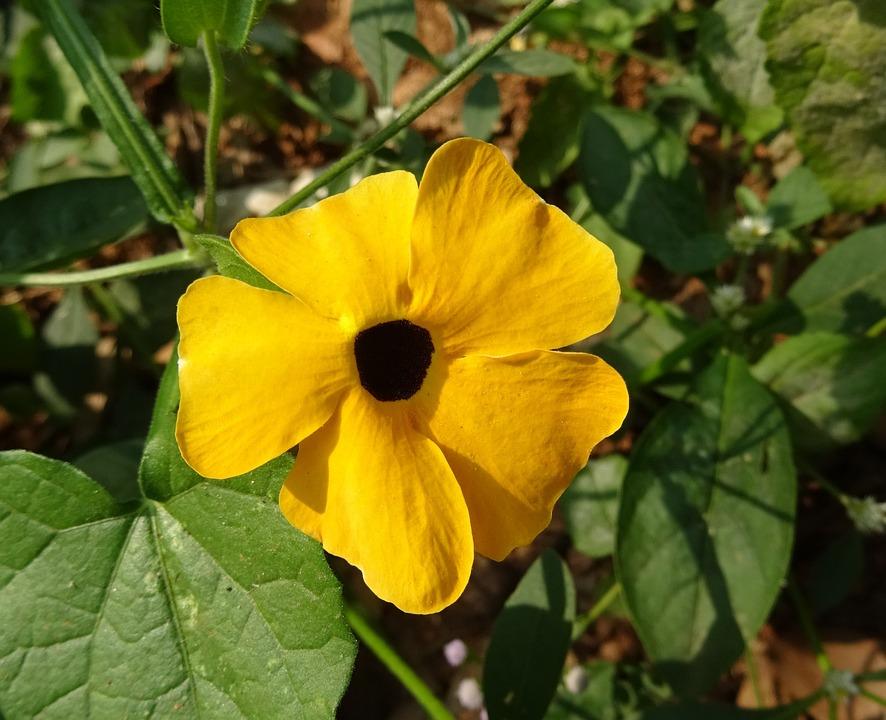Flower, Orange, Thunbergia Alata, Black-eyed Susan