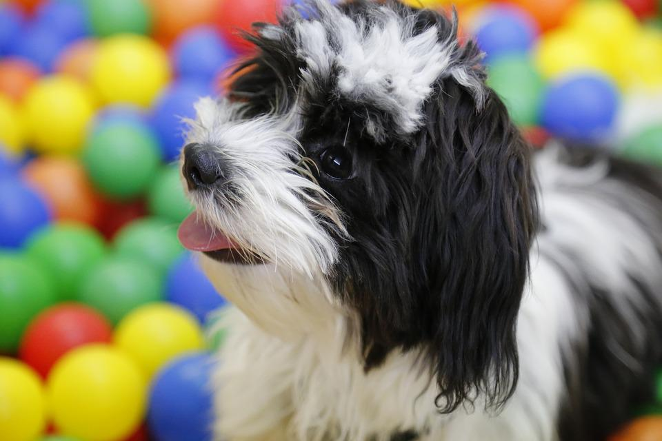 Dog, Puppy, Shih Tzu, Tibetan Terrier, Havanese