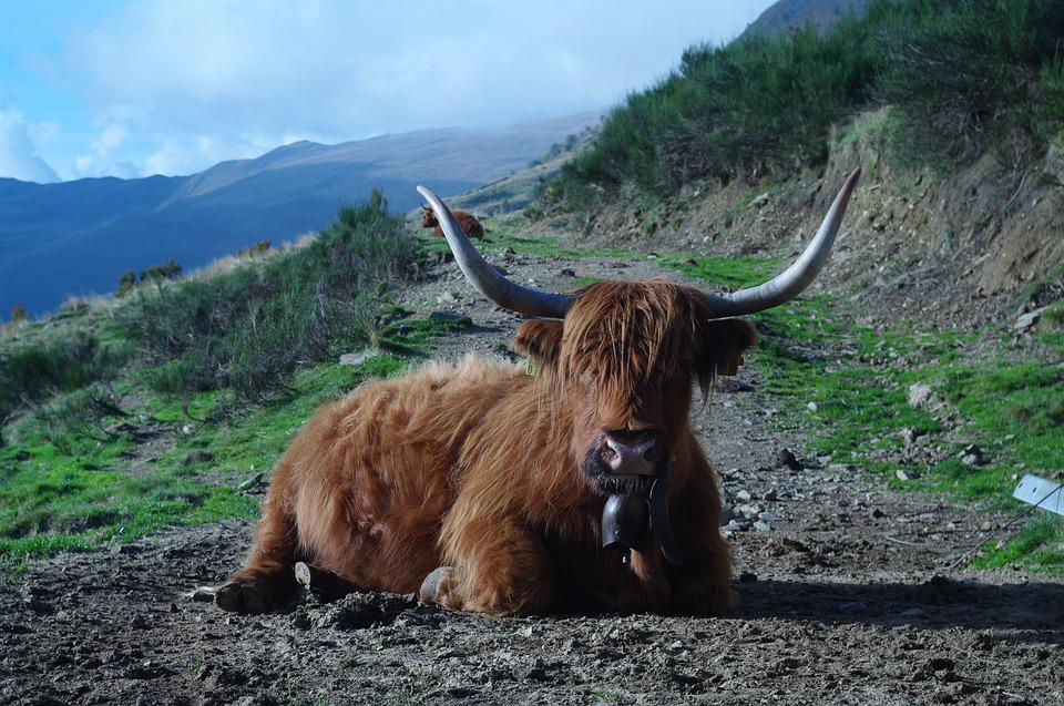 Highland Beef, Ticino, Nature Concretely