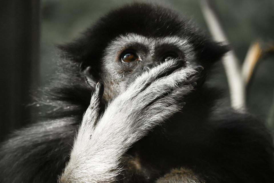 Animal, Monkey, Gibbon, Mammal, Thoughtful, Tiergarten
