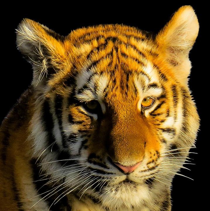 Animal, Tiger, Tiger Head, Portrait, Close