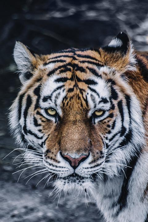 Animal, Big Cat, Close-up, Feline, Predator, Tiger