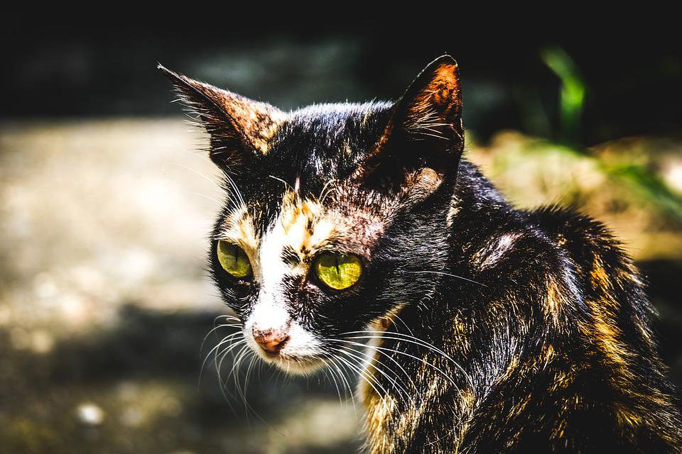 Cat, Animal, Pet, Nature, Tiger, Feline, Wildcat
