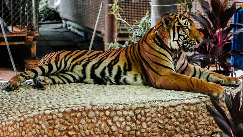 Tiger, Cat
