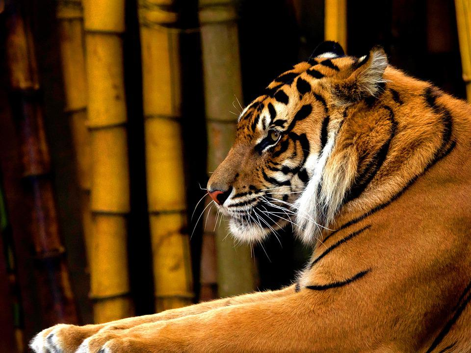 Tiger, Sumatran, Asian, Animal, Predator, Mammal, Cat