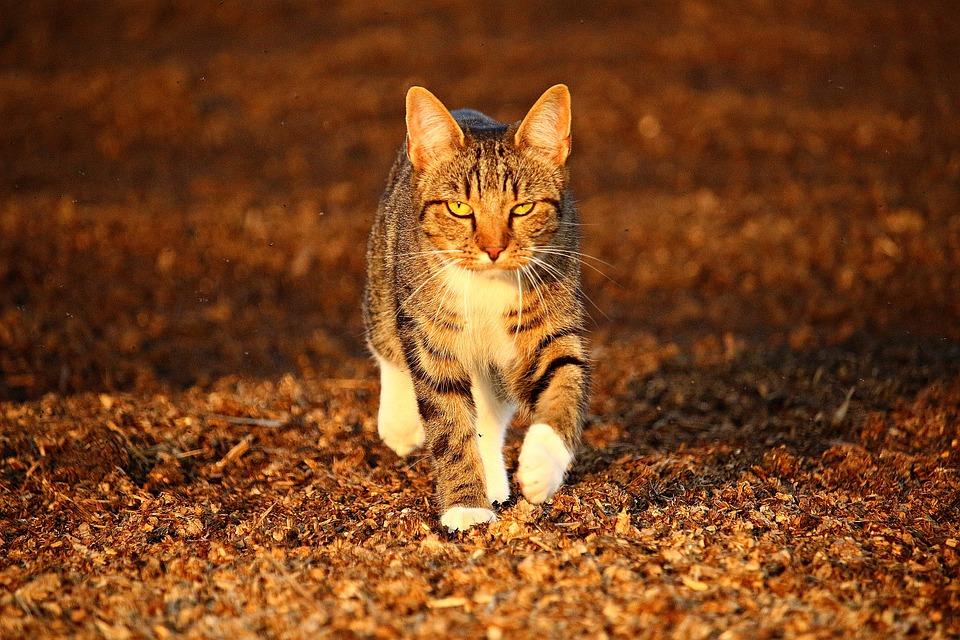 Cat, Mieze, Autumn, Domestic Cat, Tiger Cat, Mackerel