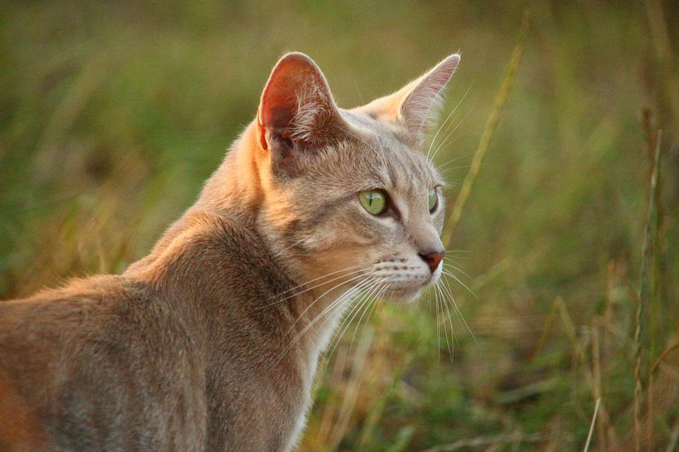 Cat, Mieze, Kitten, Mackerel, Tiger Cat, Sun, Grass