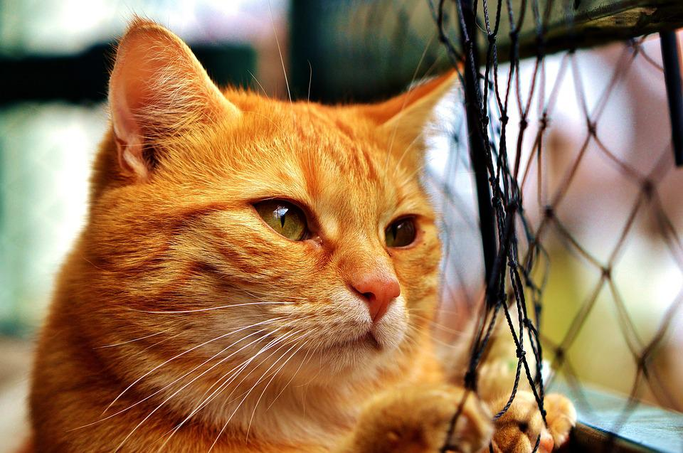 Cat, Mackerel, Longing, Network, Wait, Red, Tiger Cat