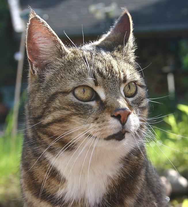 free photo tiger cat mieze dear cat pet cat face cute cat max pixel