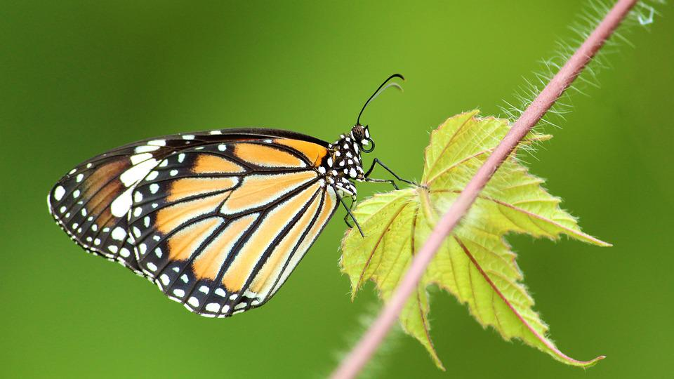Common, Tiger, Butterfly, Insect, Nature, Wings