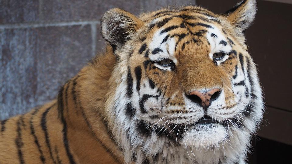 Tiger, Tiger Face, Portrait, Cat, Animal, Face, Big