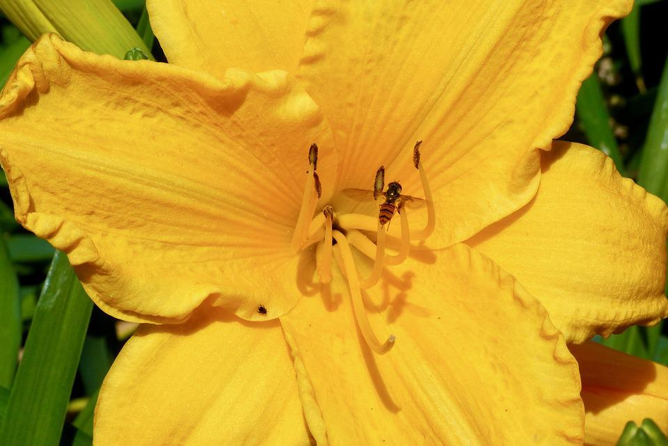 Daylily, Flower, Tiger Fly