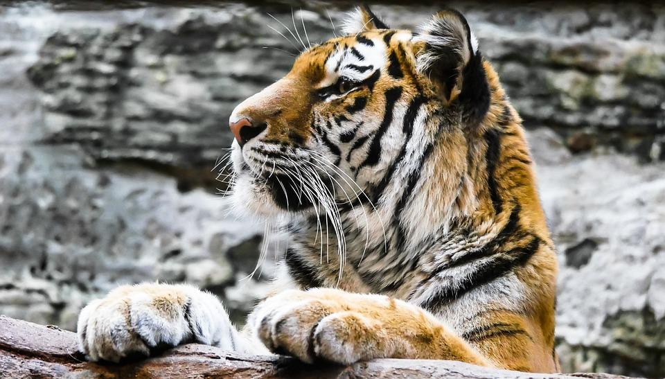 Animal, Predator, Tiger, Cat, Nuremberg, Lurking, Watch