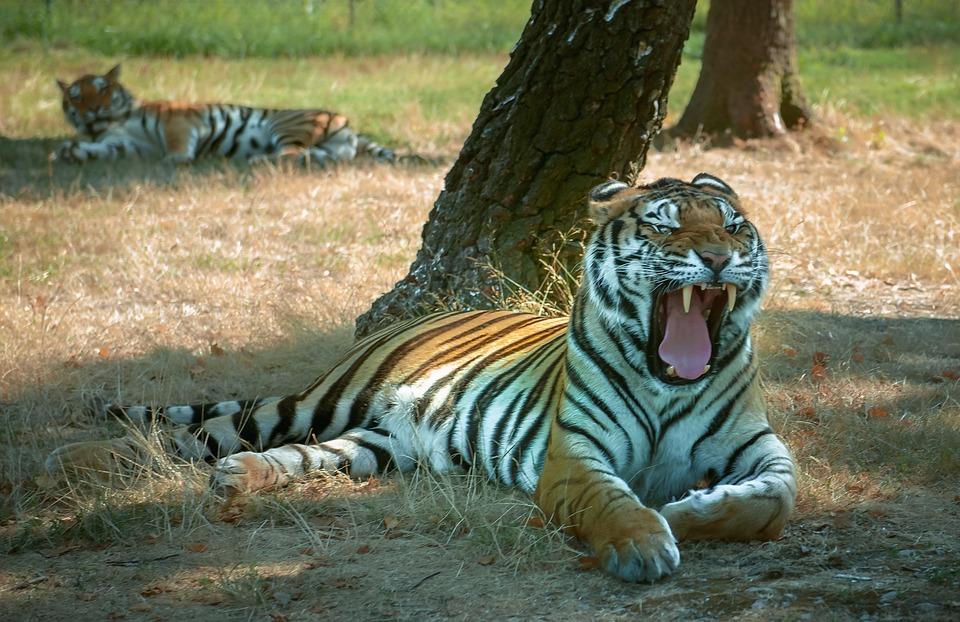 Tiger, Teeth, Pause