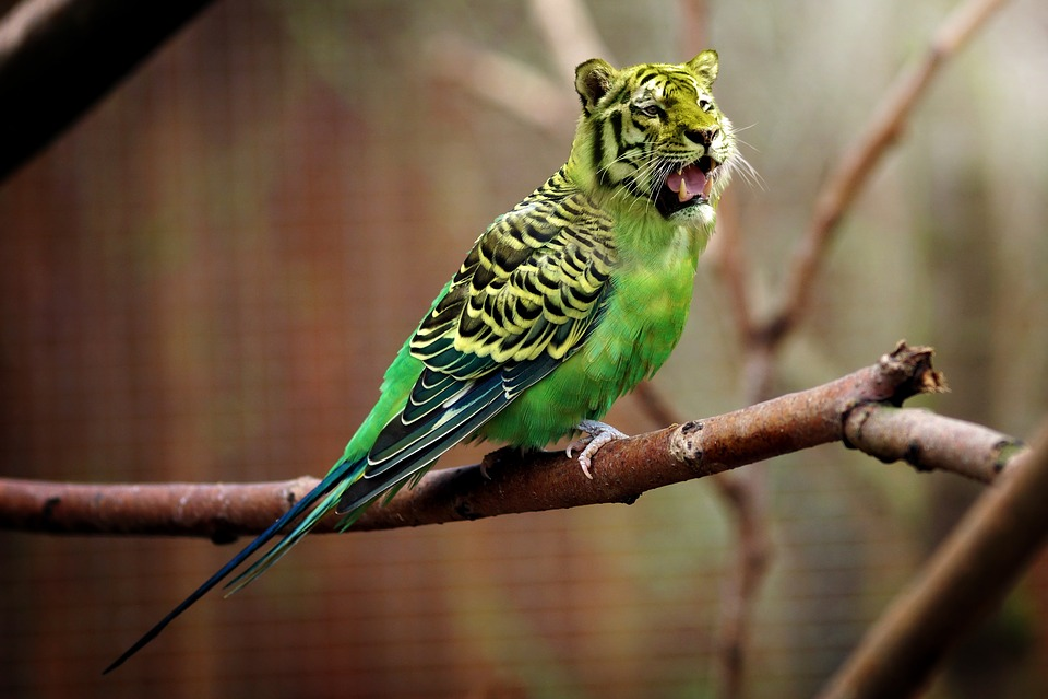Tiger, Budgie, Tiger Parakeet, Photoshop