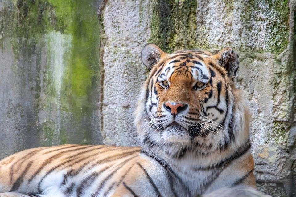 Tiger, Siberian, Animal, Creature, Predator, Big Cat
