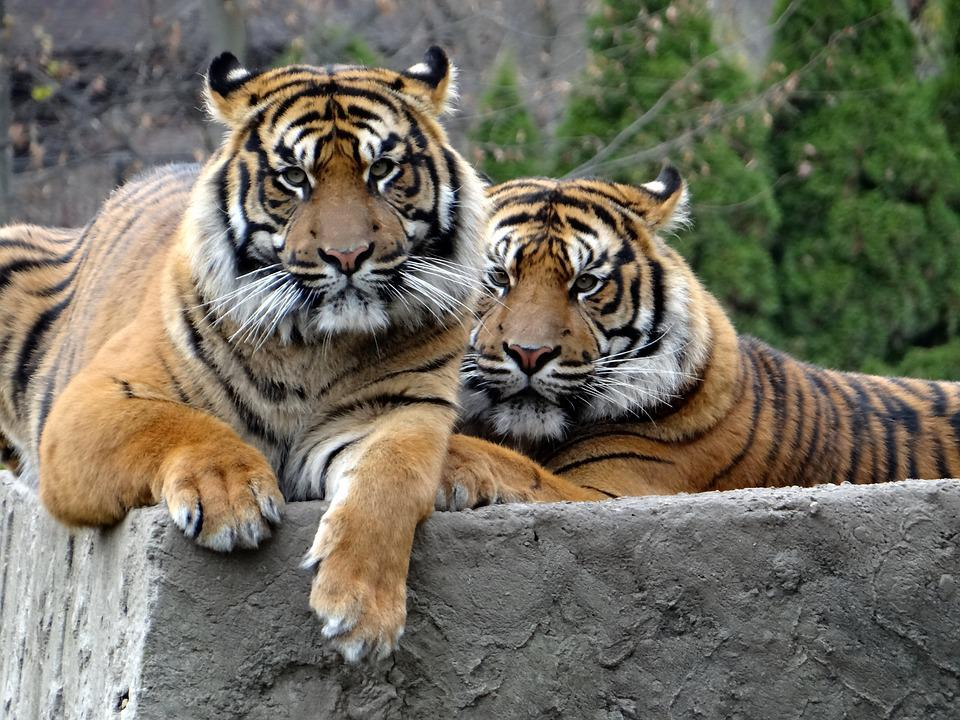 Sumatran Tiger, Nature, Predator, Tiger, Mammal, Cat
