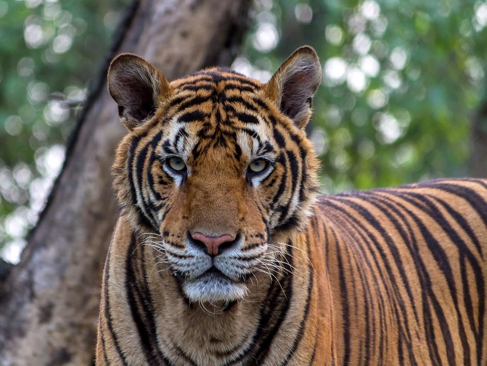Tiger, Animals, Pretty, Bengal, Captive, Carnivore, Cat