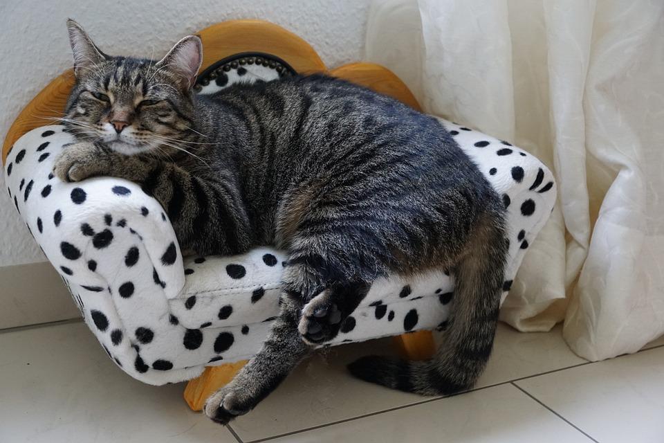 Cat, Tiger, Sweet, Sofa, Canape, Furniture, Animal