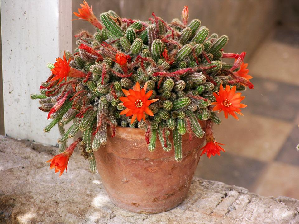 Cactus, Flowering Cactus, Tile, Pot, Orange Flower