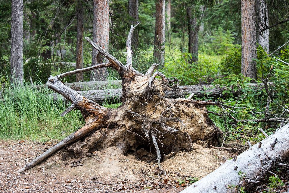 Free photo Timber Clay Dead Fallen Tree Forest Roots ...