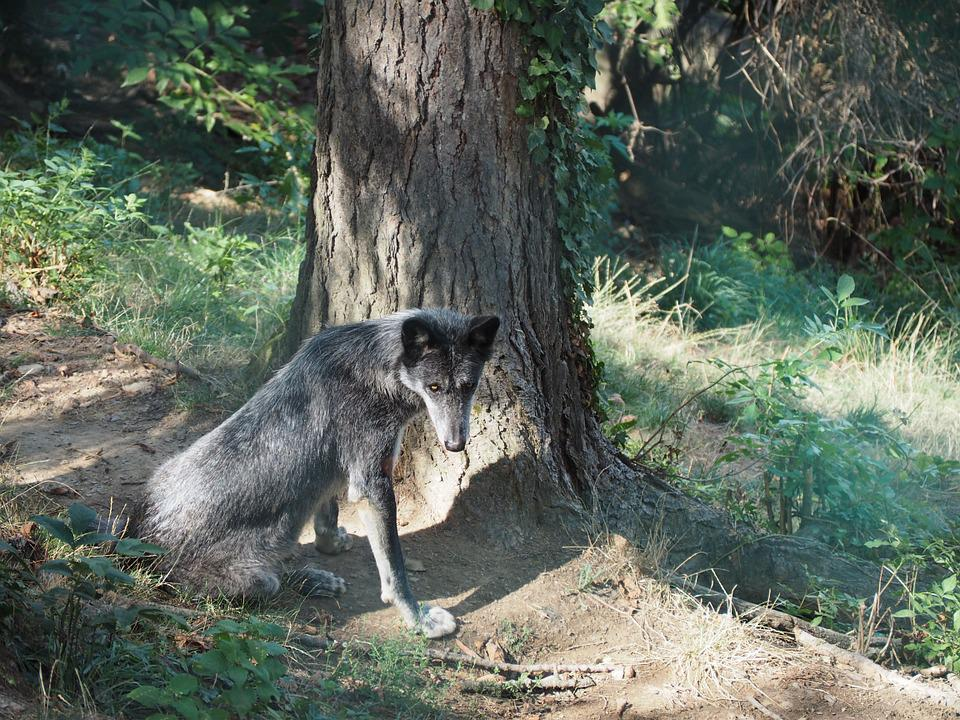 Wolf, Zoo, Timberwolf, Black, Nature
