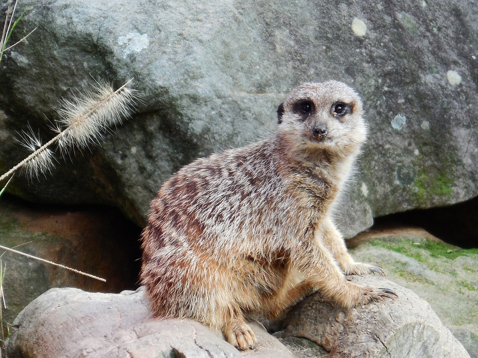Meercat, Timon, Cute, Wildlife, Alert, Zoo, Wild