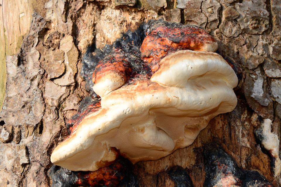 Tree Fungus, Tinder Fungus, Mushroom, Tree, Dead Wood