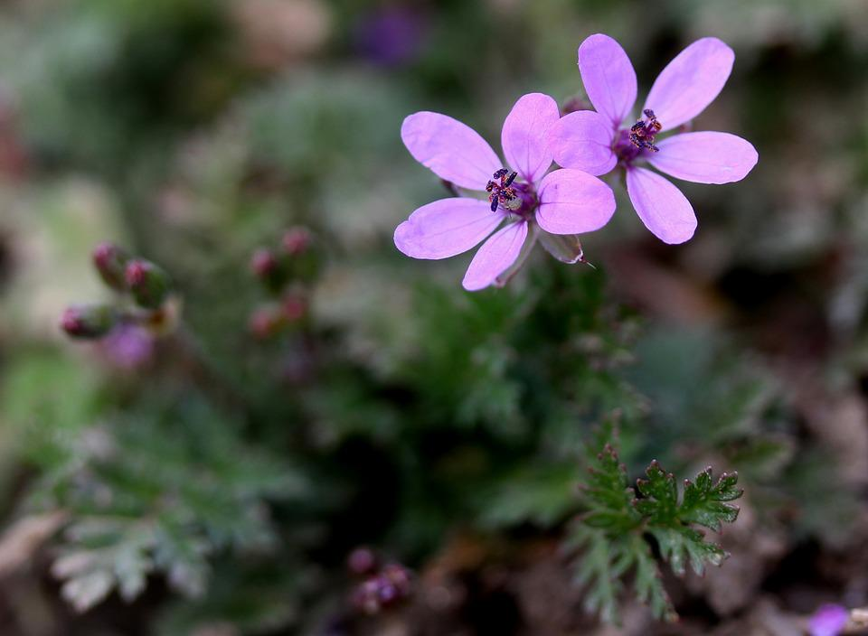Flower, Wild, Pink, Tiny, Plant, Nature
