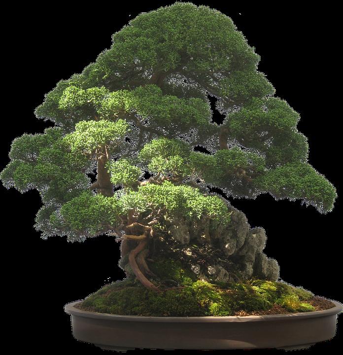 Bonsai, Tree, Plant, Potted Plant, Small, Tiny