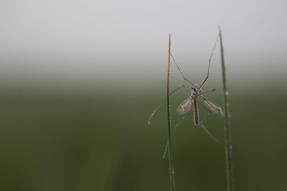 Tipula, Insect, Plant, Wet, Dew, Garden, Nature, Macro